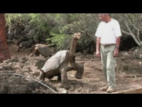 Lonesome George, the Galapagos giant tortoise, could be back
