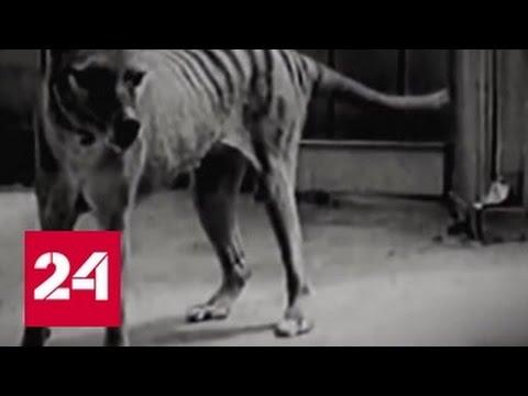 В Австралии заметили сумчатого волка, вымершего в прошлом веке
