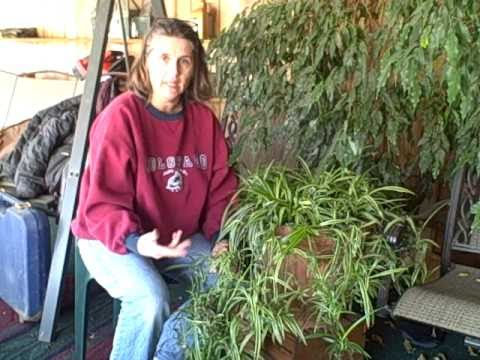 Propagating New Baby Spider Plants Indoor Houseplant Youtube