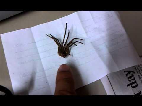 Pet Tarantula Bite Tarantula Bite
