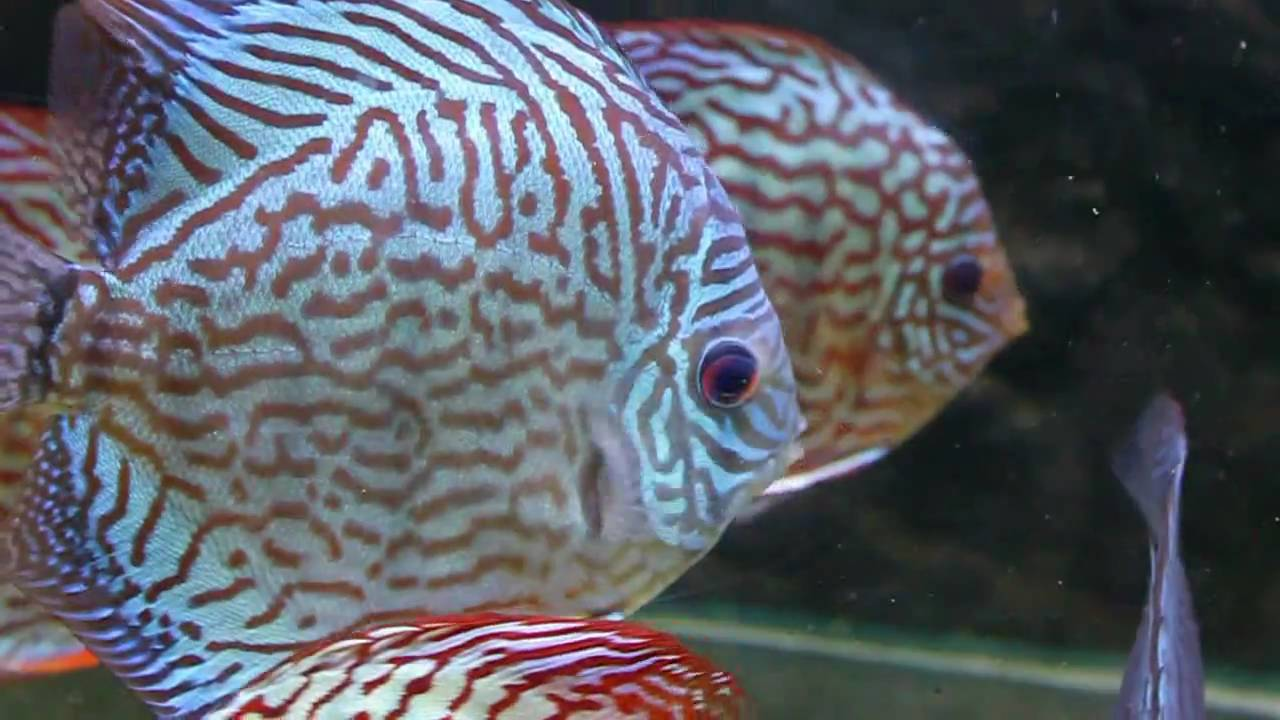 Discus fish varieties from sydney discus world aquariums for Jan s tropical fish