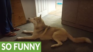 Husky refuses to take shower, vocally argues with owner
