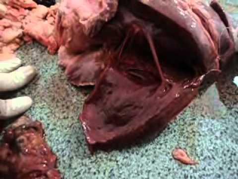 diseccion de corazon de vaca parte dos