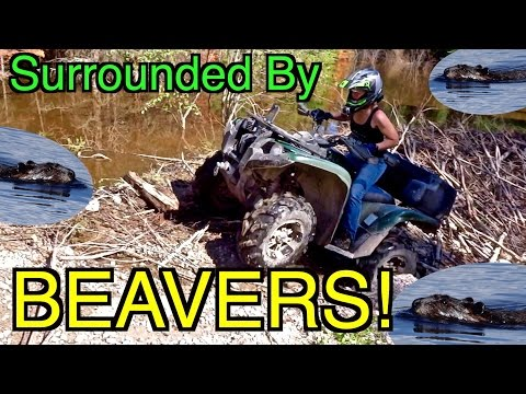 Surrounded By Beavers!! - ATV Ride Down The Trans Canada Trail  - July 2, 2016