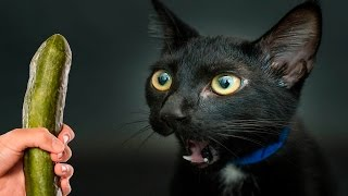 Cats scared of Cucumbers Compilation - Part 3 - Cats Vs Cucumbers - Funny Cats 2016