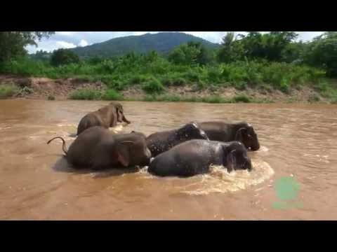 Elephant protect baby elephant from strong river