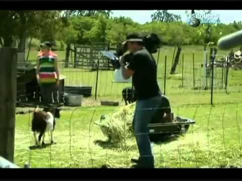 Paralizante: la insólita reacción de las cabras al ver un paraguas