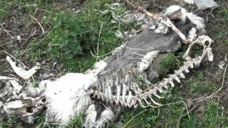 Sheep killed by beast in Wales