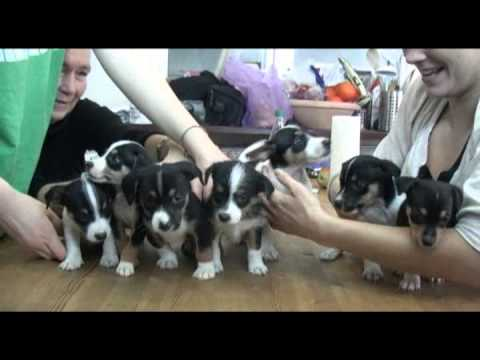 små hundehvalpe til salg