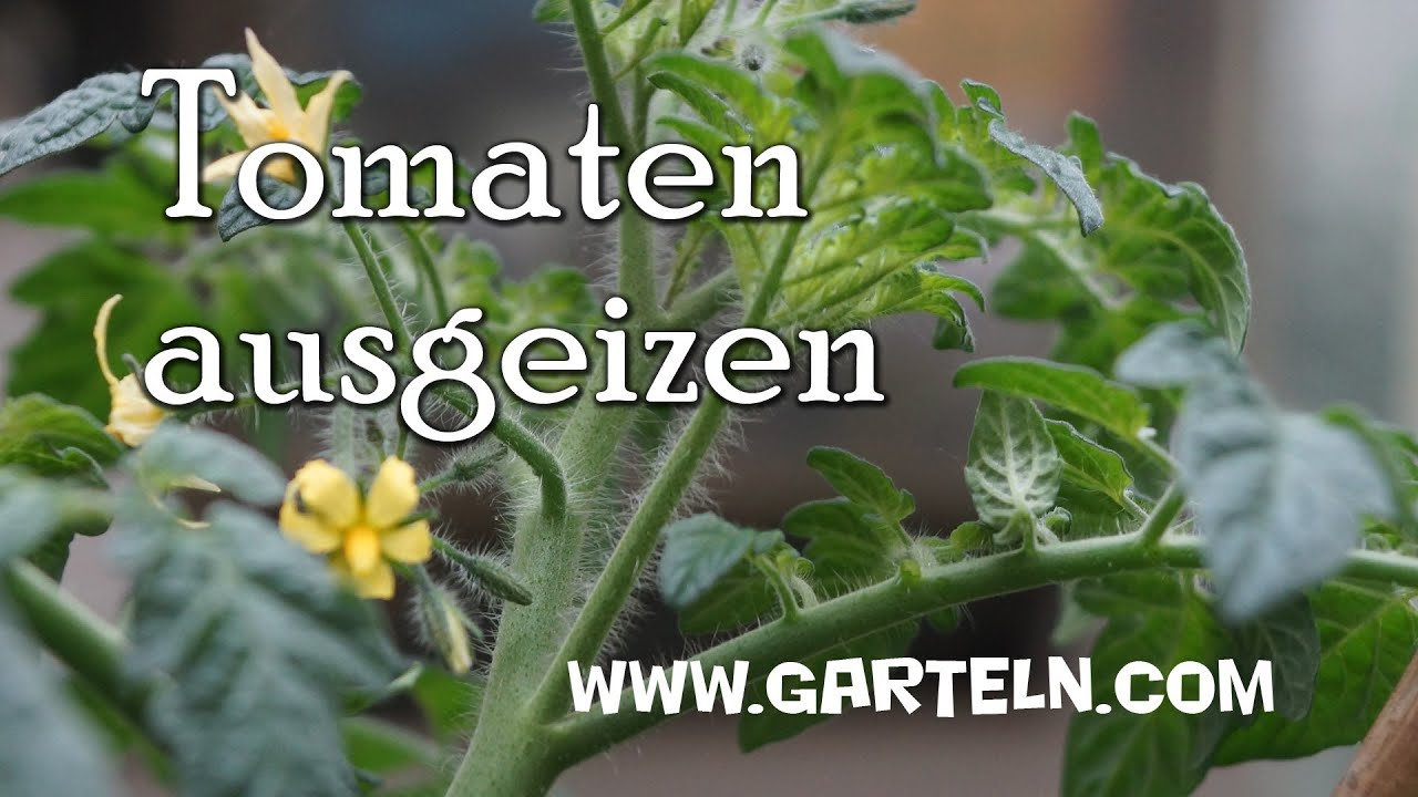 tomaten ausgeizen tipps und infos youtube. Black Bedroom Furniture Sets. Home Design Ideas