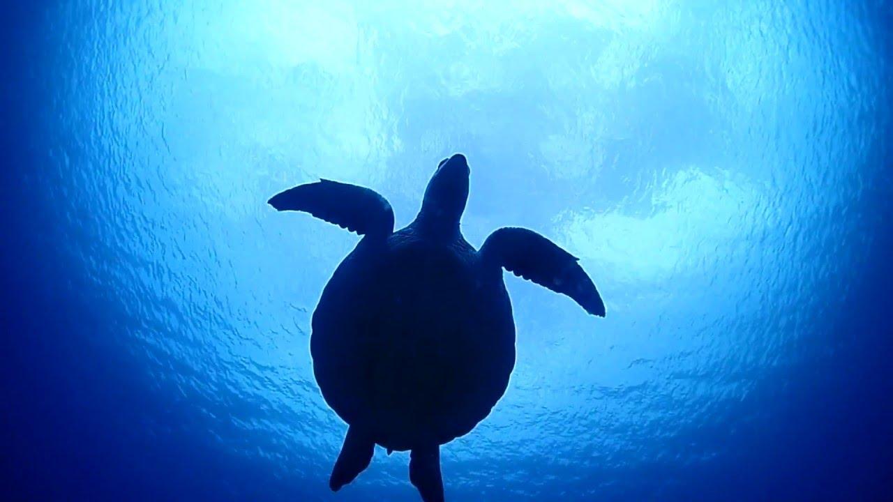 ウミガメの画像 p1_26