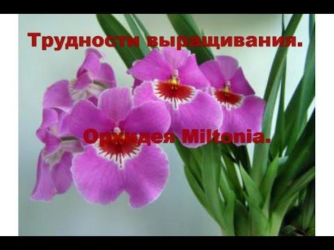 Трудности выращивания орхидей. Орхидея Miltonia.