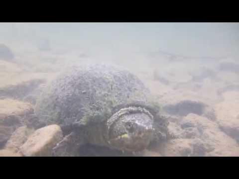 Eastern Musk Turtle (Sternotherus odaratus)