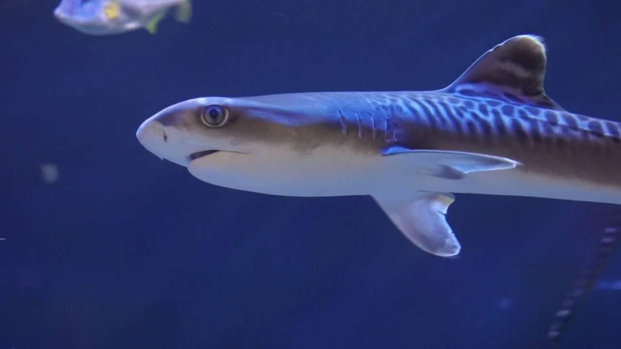 イタチザメの画像 p1_24