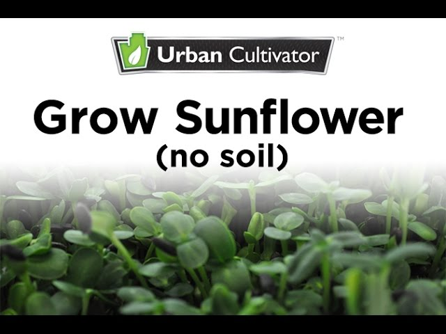 Grow Sunflower Microgreens Without Soil