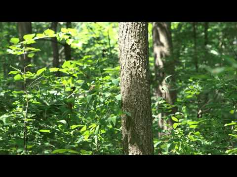 Emerald Ash Borer:  For Woodlot & Forest Mgrs