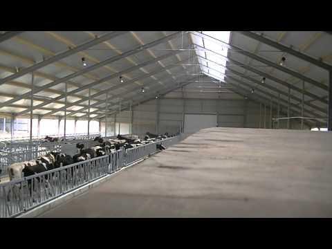 De koeien van Firma de Koningspleij verhuizen naar hun nieuwe onderkomen (Arnhem)