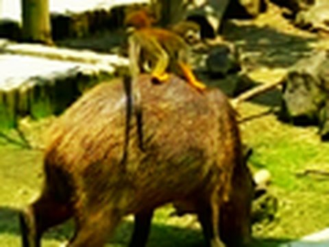 Monkeys Ride Giant Rodents Video