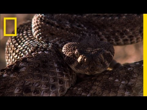 Rattlesnake vs. Rat