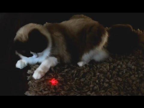 Timo the Cat vs Laser