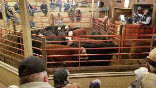 Sheeder calves selling 2018 part 2