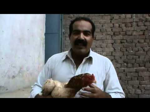 OLD ASEEL HEN _ by Usted Rana Safdar Shab city Gujranwala‬‏.flv