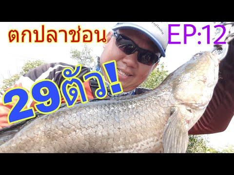 ตกปลาช่อน บางขุนเทียน EP: 12 ตกปลาช่อนก็รวยได้ 29ตัว