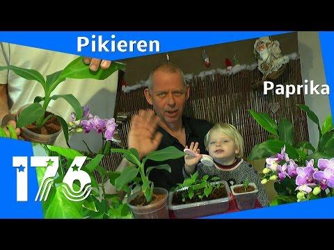 Paprika Pflanzen im Winter. Die Anzucht gelingt mit zusätzlichem Licht.
