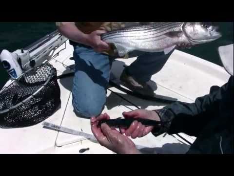 how to rig live bait for jewfish