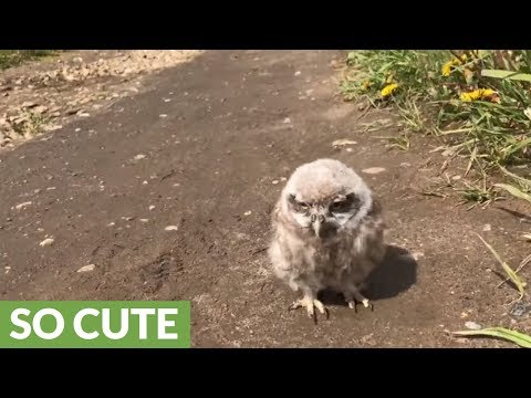 Baby pet owl goes for a walk