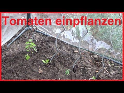 Tomaten einpflanzen aber richtig - Tomatenpflanzen pflanzen und pflegen