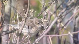 Yellow-rumped Warblers feed on berries