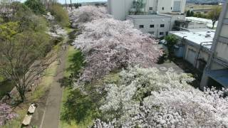 Cherry-Blossom viewing 12 April 2017 Part.2 花見