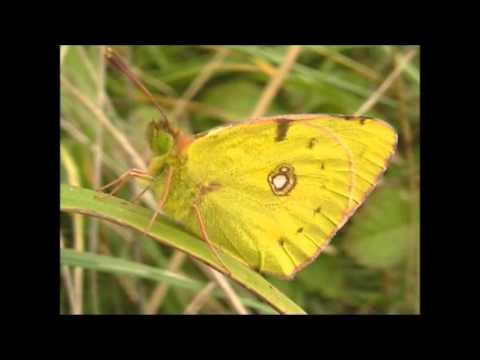 Clouded Yellow Butterflies Colias croceus