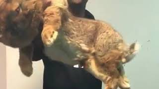 A real huge Bunny