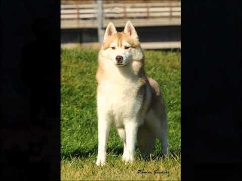 colores del husky siberiano