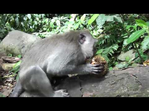 Crazy baby monkey Forest Bali Indonesia. Antics of baby monkeys in the forest of Bali Indonesia.