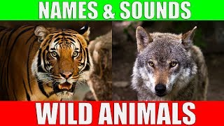 Wild Animals Names and Sounds for Kids to Learn | Learning Wild Animal Names and Sounds for Children
