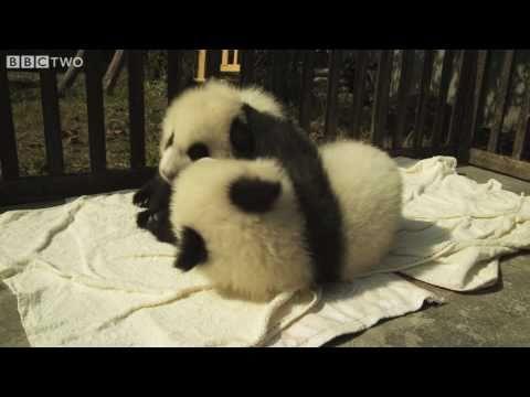 2 panda bébi