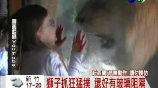 小朋友千萬不要學:紐西蘭小女孩挑釁獅子發怒狂撲!幸好躲在玻璃後!