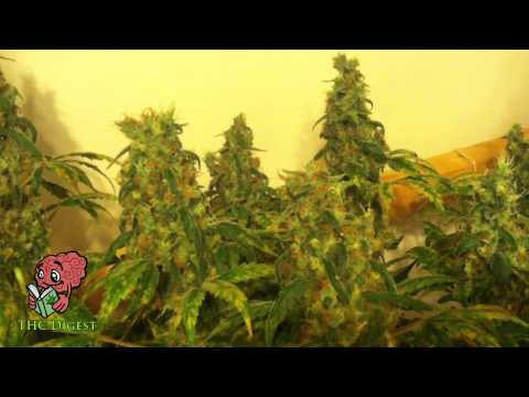 Hydro Bubbleponics Weed Grow   Week 12