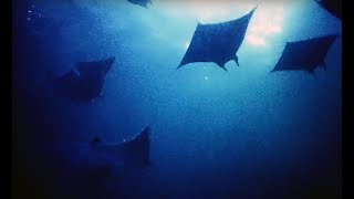 Filming Hundreds Of Mobula Rays At Night