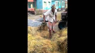 গ্রাম বাংলার ধান মাড়াইয়ের চিত্র। গোপালপুর, টাংগাইল