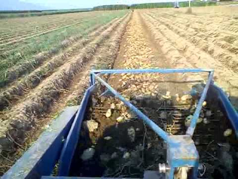 potatoes harvesting