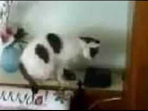 Telefona cevap veren kedi!
