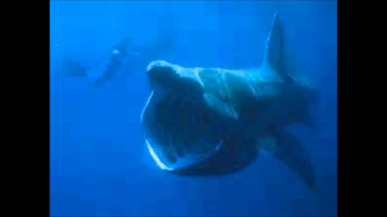 the worlds largest shark the megalodon caught on video