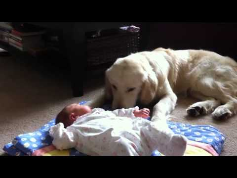 Golden Retriever Babysitting Newborn