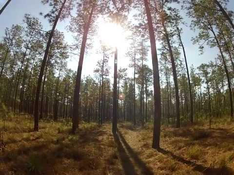 Long Leaf Pine Trees in Ocala National Forest