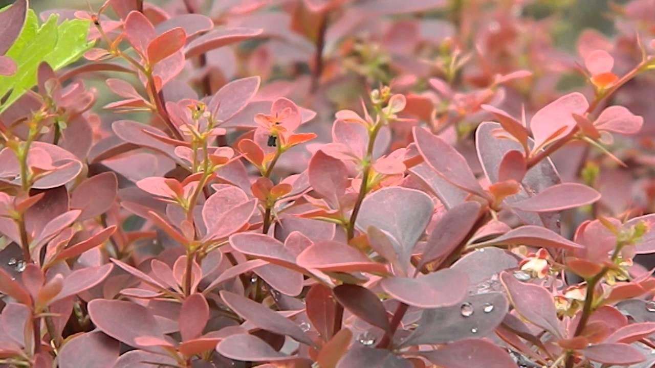 Berberis Thunbergii Atropurpurea Crimson Pygmy Berberis thunbergii