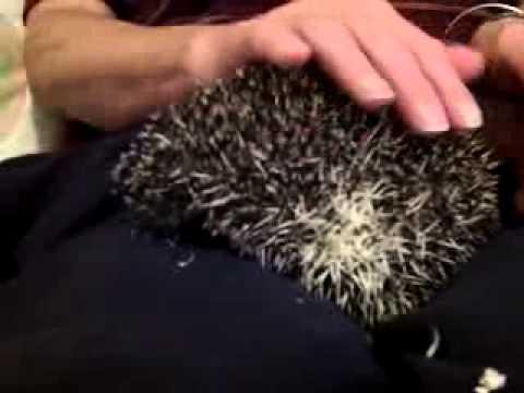 Hedgehog Noises